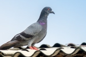 Pigeon Control, Pest Control in Islington, Barnsbury, Canonbury, N1. Call Now 020 8166 9746