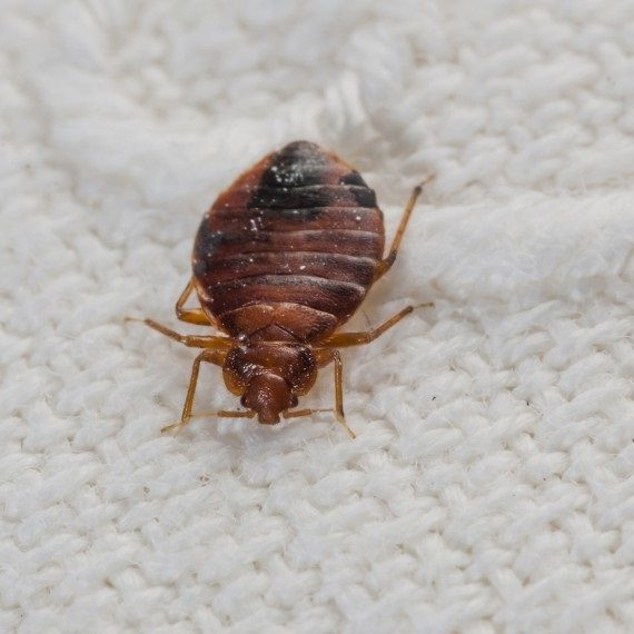 Bed Bugs, Pest Control in Islington, Barnsbury, Canonbury, N1. Call Now! 020 8166 9746