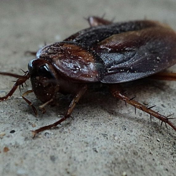 Cockroaches, Pest Control in Islington, Barnsbury, Canonbury, N1. Call Now! 020 8166 9746
