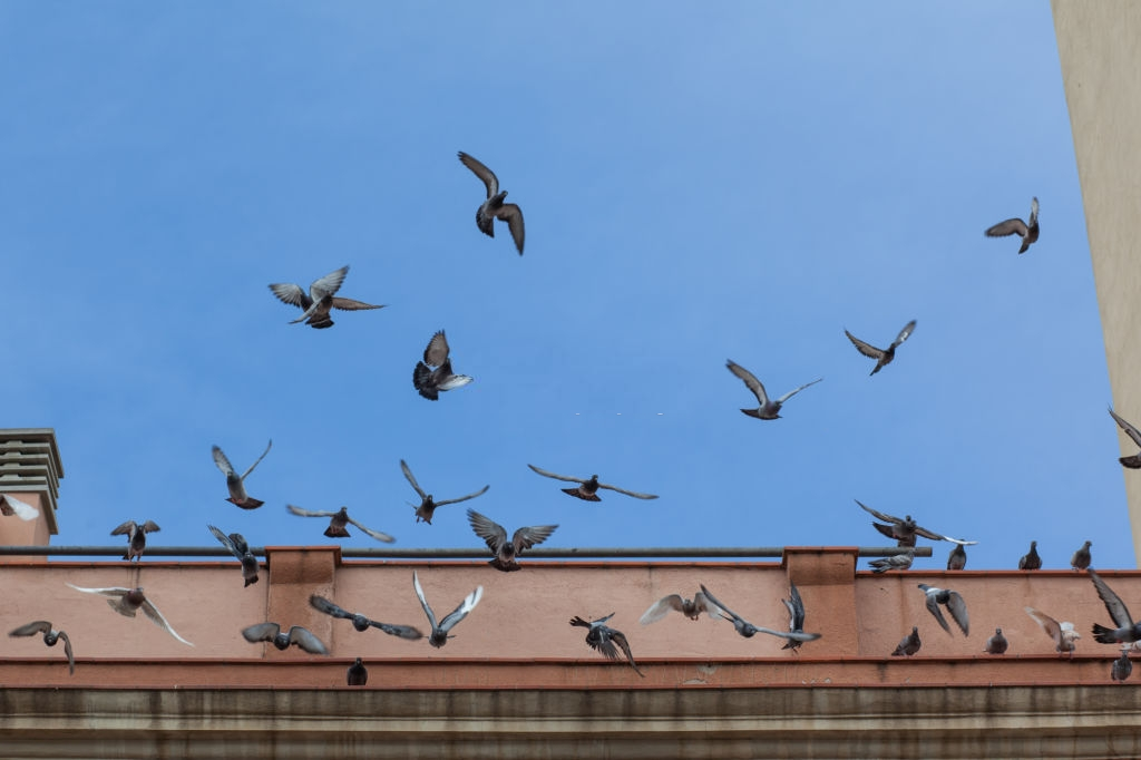 Pigeon Pest, Pest Control in Islington, Barnsbury, Canonbury, N1. Call Now 020 8166 9746