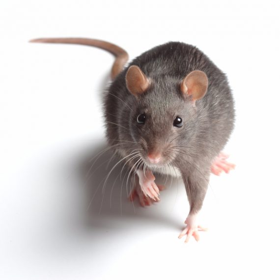 Rats, Pest Control in Islington, Barnsbury, Canonbury, N1. Call Now! 020 8166 9746